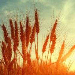 picturesque scene. barley field in sunset time. majestic sunset on the agricultural field. dramatic scene. used as background. retro style. vintage creative effect